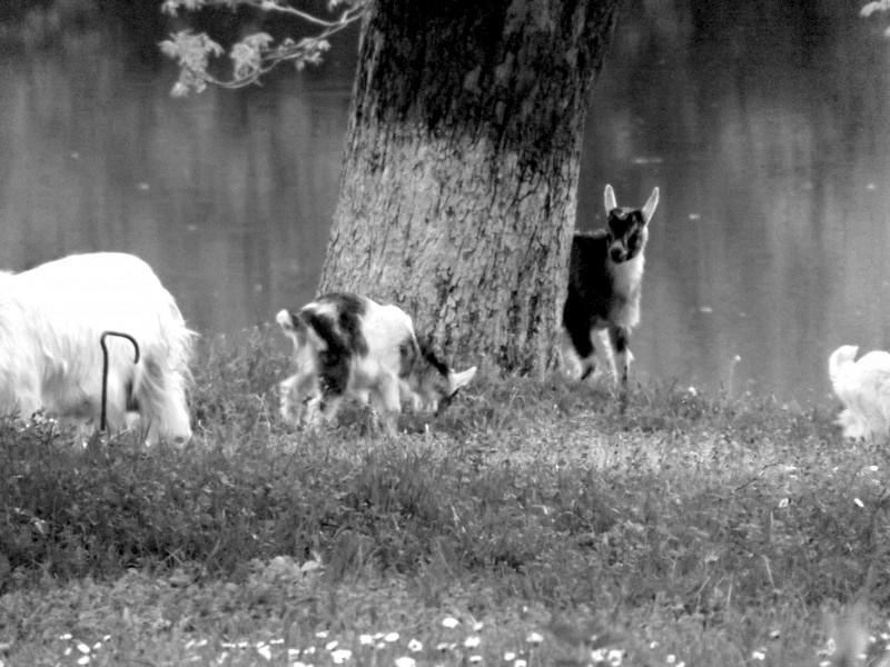 Маленькі , нечемні козенята