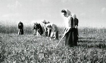 Прополювання вівса у колгоспі, 1948 р.
