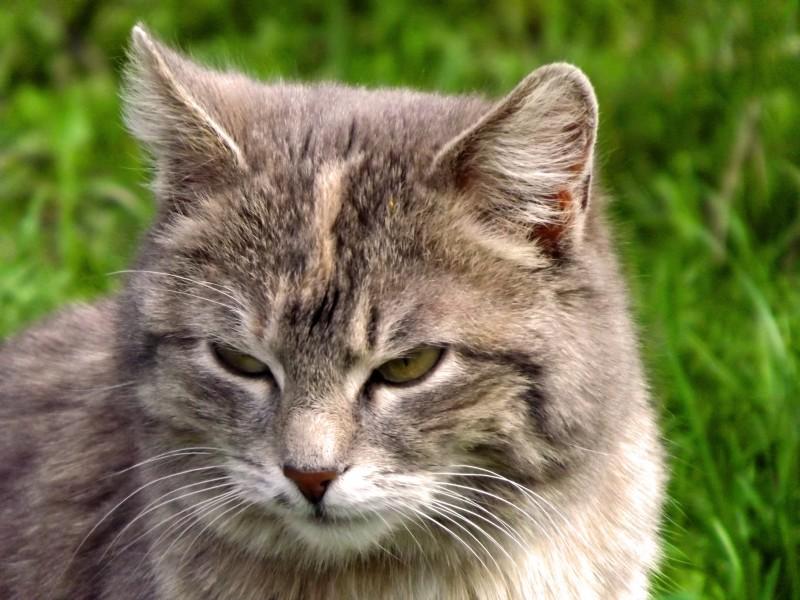 Сусідский кіт
