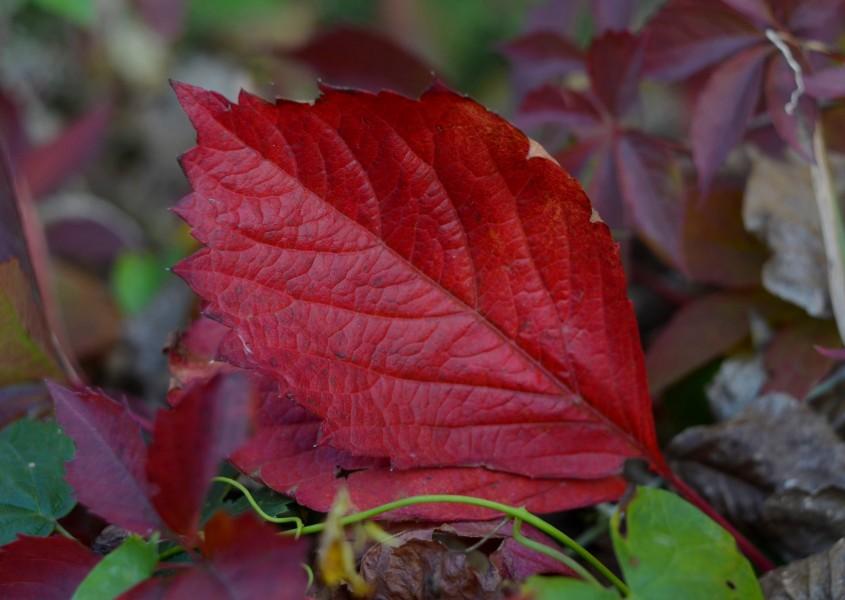 Червоний листок