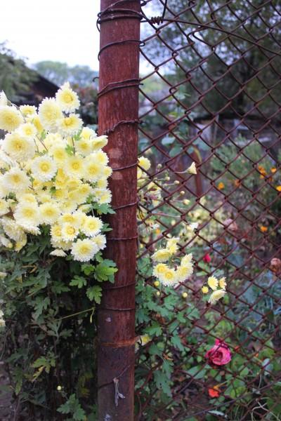 Осінні хризантеми