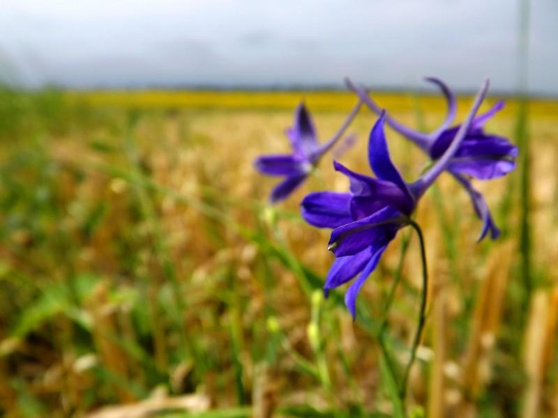 Ці прості й чудові квіти ростуть в полях з пшеницею. Вони дуже маленькі і часто ми проходимо повз них навіть не помічаючи цієї краси.