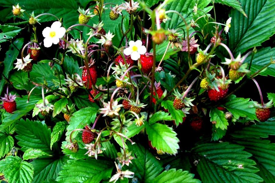 Гірська ягода