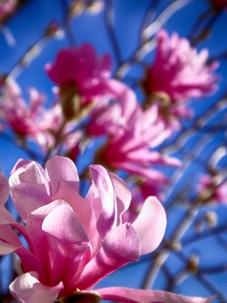 Ця магнолія росте на нашому подвір'ї. Цвіте незважаючи на те, що подекуди лежить сніг та ще тримаються нічні морози. Ніби вказує на те, що дні Зими закінчилися.