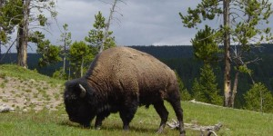 Bull_Bison_in_Mud_Volcano_Area-750px